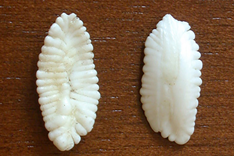 White, ridged cod earbones with fluted edges