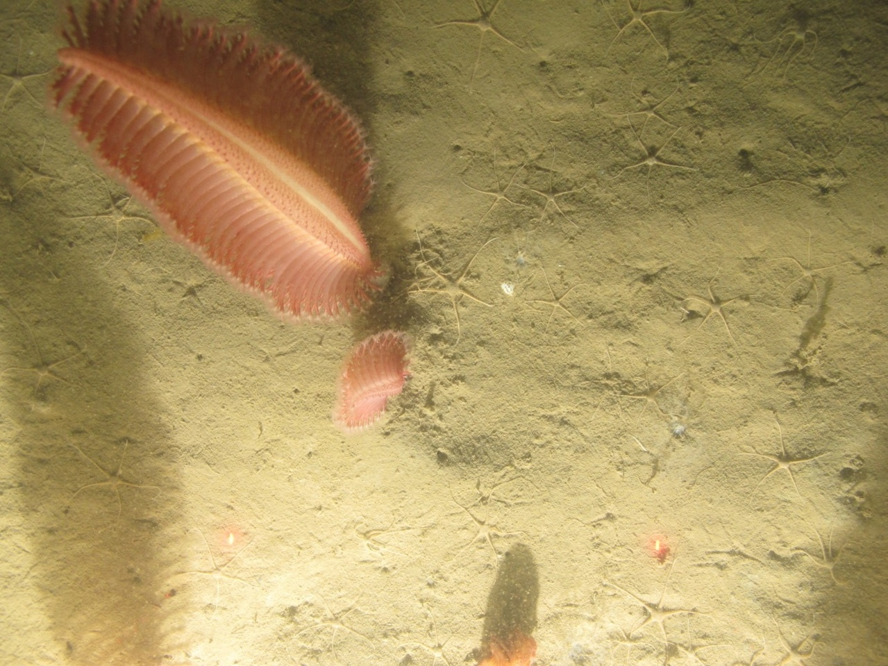 a sea pen photographed on ocean bottom