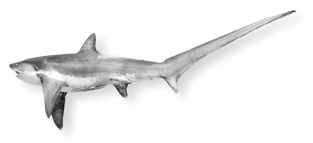 Common thresher shark viewed from the side showing the long upper caudle lobe that approximates the size of the body before the caudle fin.