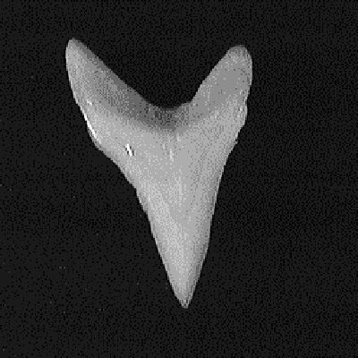 Single common thresher shark tooth from the front of the jaw showing its smooth narrow triangular shape