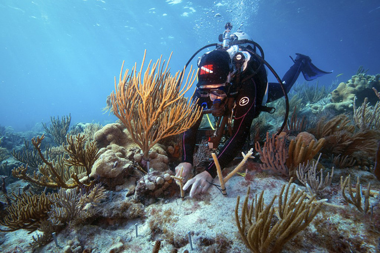 Diver attaches a coral to the rocky reef bottom