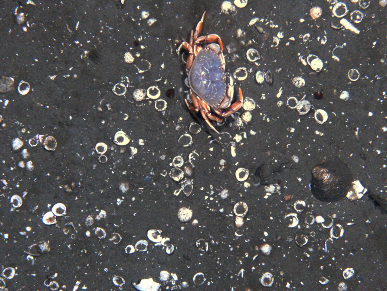 Crab on the ocean floor photo taken by habcam.