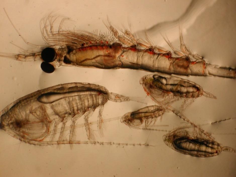 crustacean zooplankton.jpg