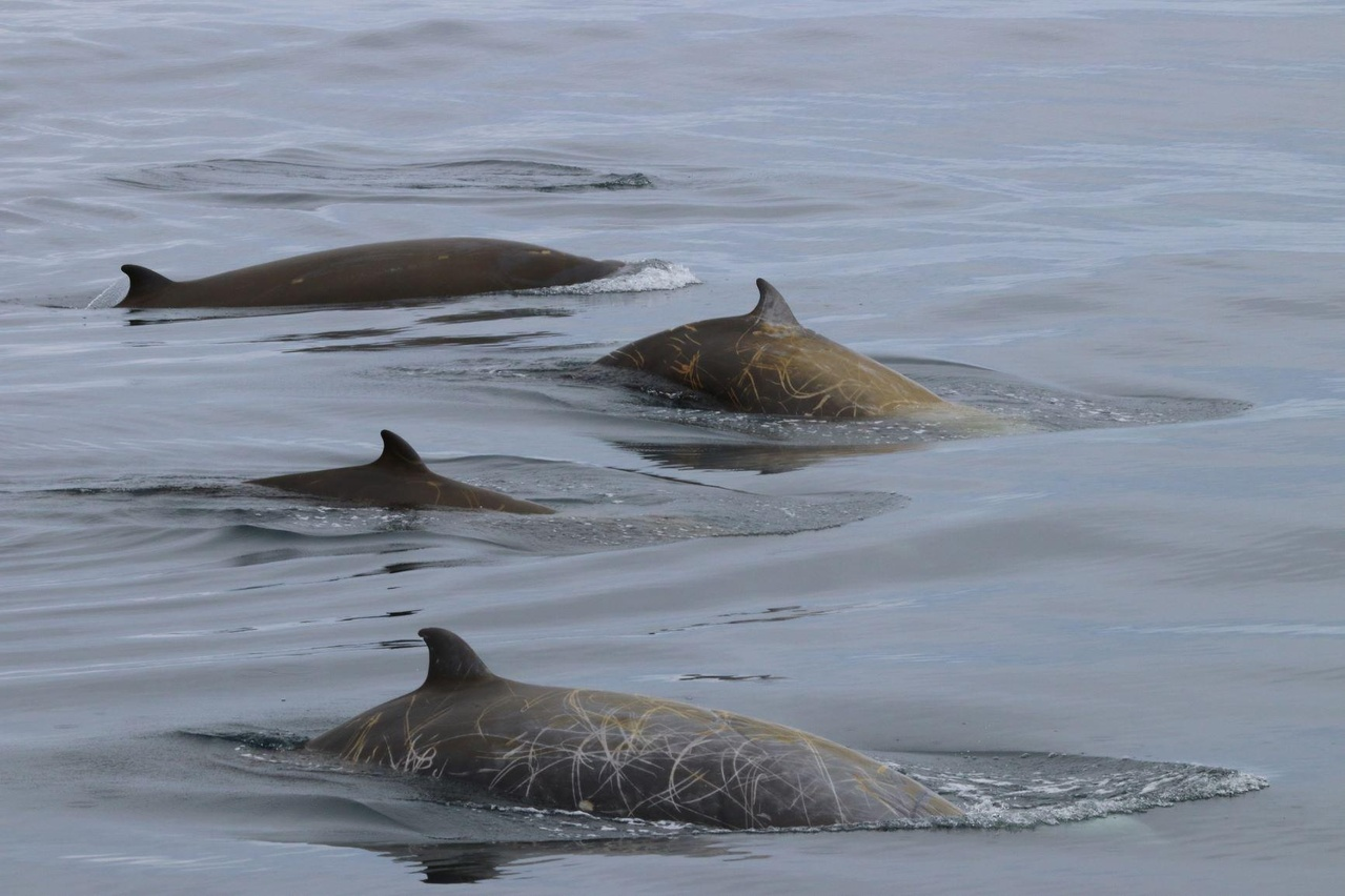 Cuvier's beaked whales in the Southern California Bight. Credit: Anne Simionis