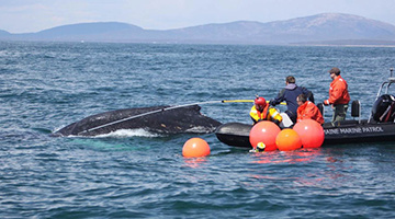 1280x800-right-whale-disentanglement-ecohealth-alliance.jpg