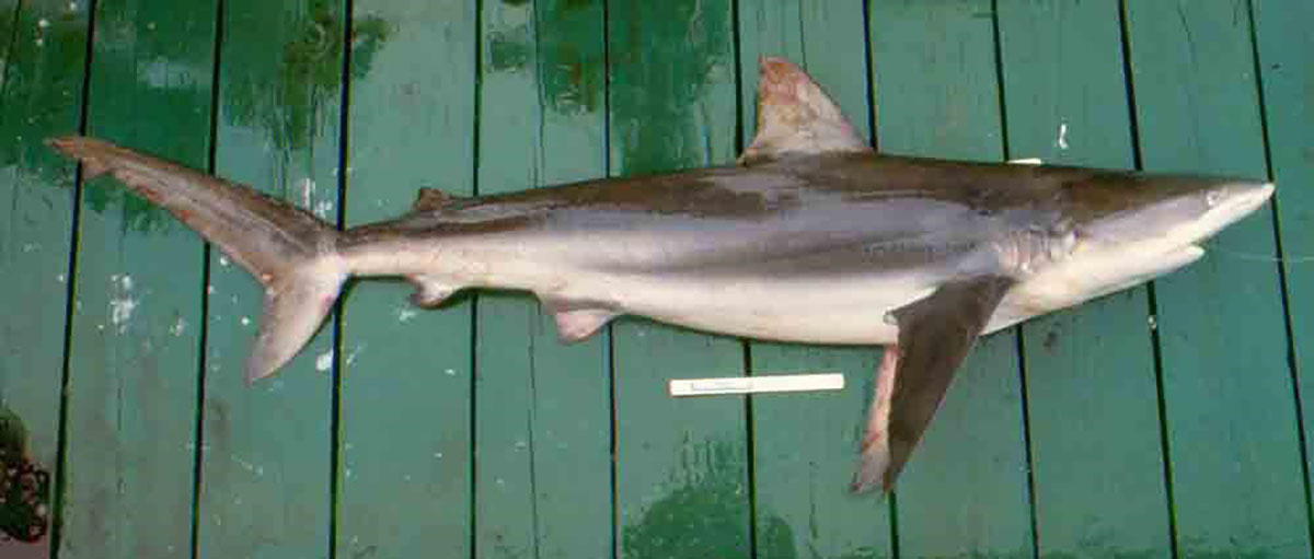 Dusky shark viewed from the side on a boat deck showing the first dorsal fin starting behind the point where the back end of pectoral fins are attached and sloping back towards the tail region.