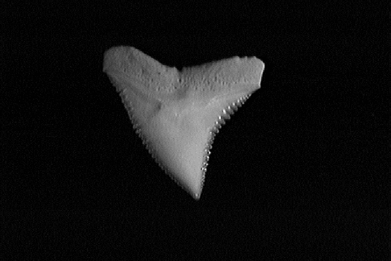 Single dusky shark tooth showing its serrated, slightly oblique, triangular shape