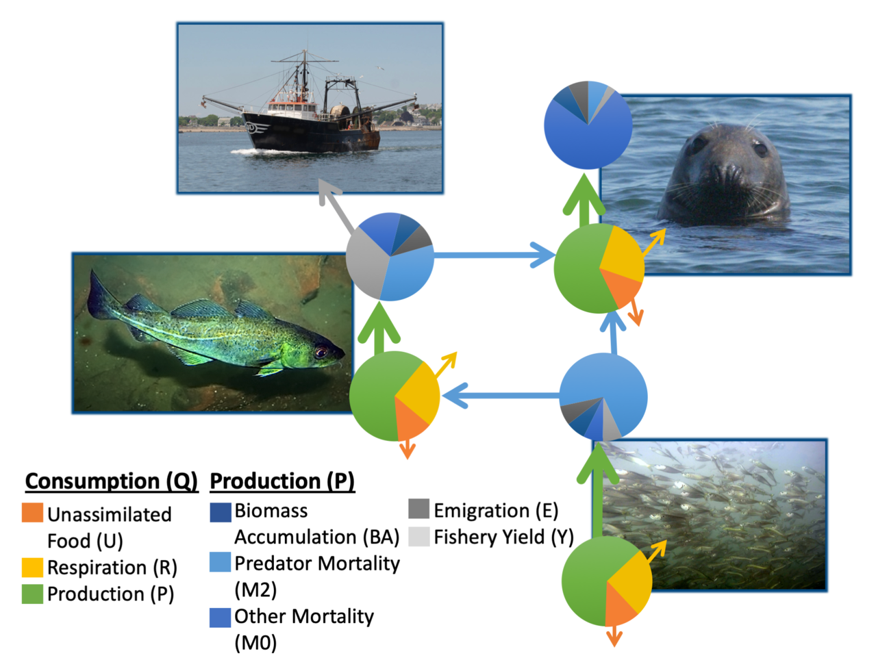 A conceptual representation of how mass balance food web models work.  Consumption needs to balance production (all gains and losses of energy).  This simplified food web is represented by a predator, prey, marine mammal, and fishery.