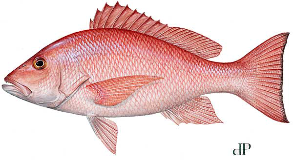 Image of red snapper
