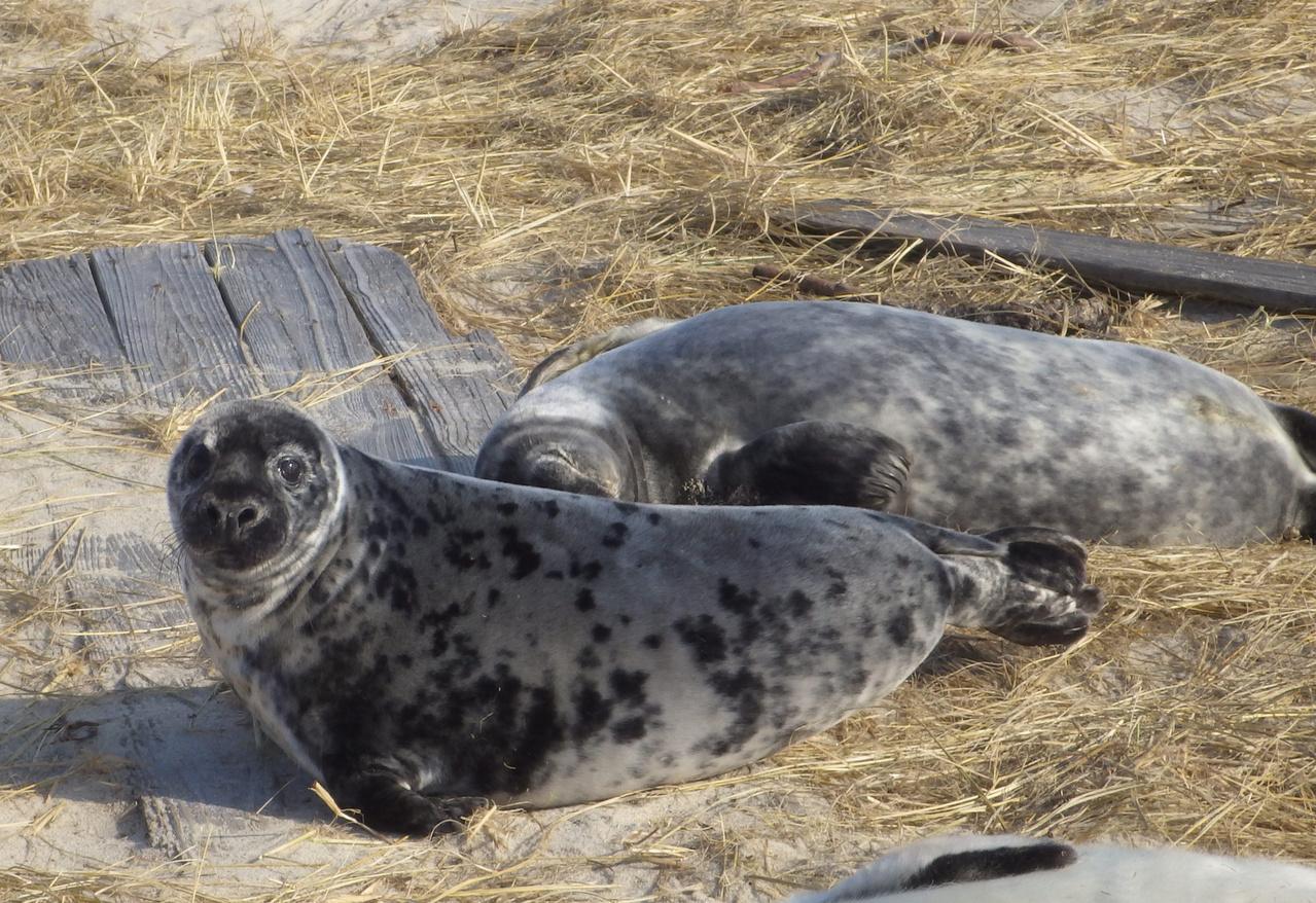 gray seal pup on beach