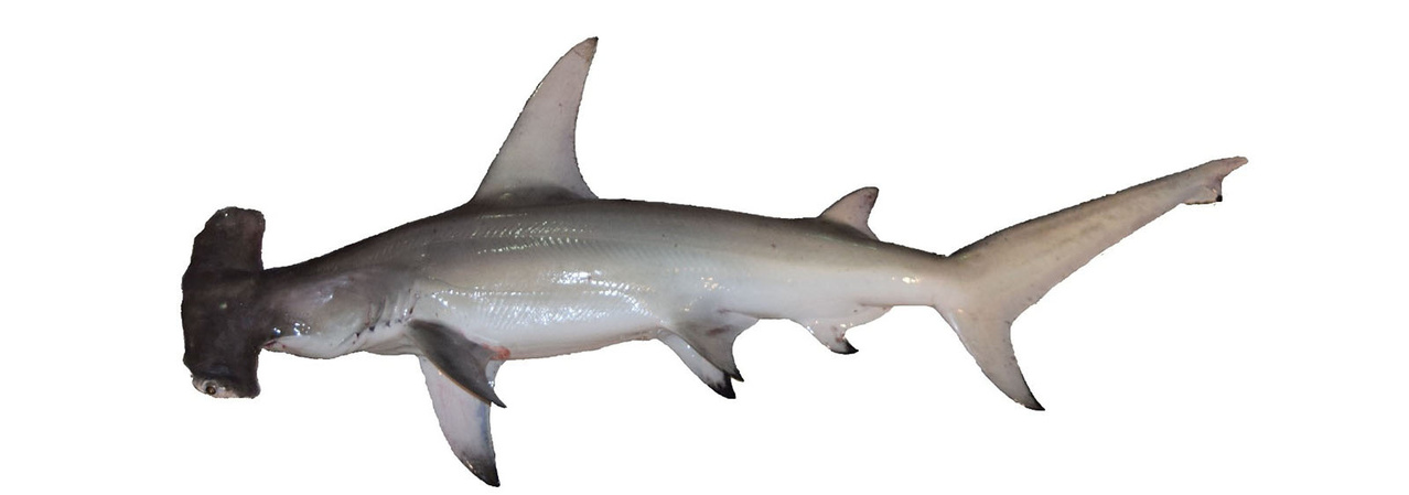 Great hammerhead viewed from the side showing its large, narrow, sickle-shaped first dorsal fin.