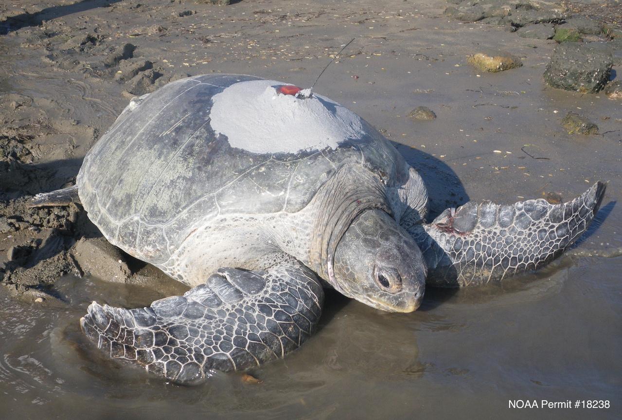 GreenTurtleSatTag-SWFSC-MMTD-JASeminoff.jpgaGreen turtle with satellite tag in San Diego Bay. Photo: NOAA Fisheries/Jeffrey Seminoff