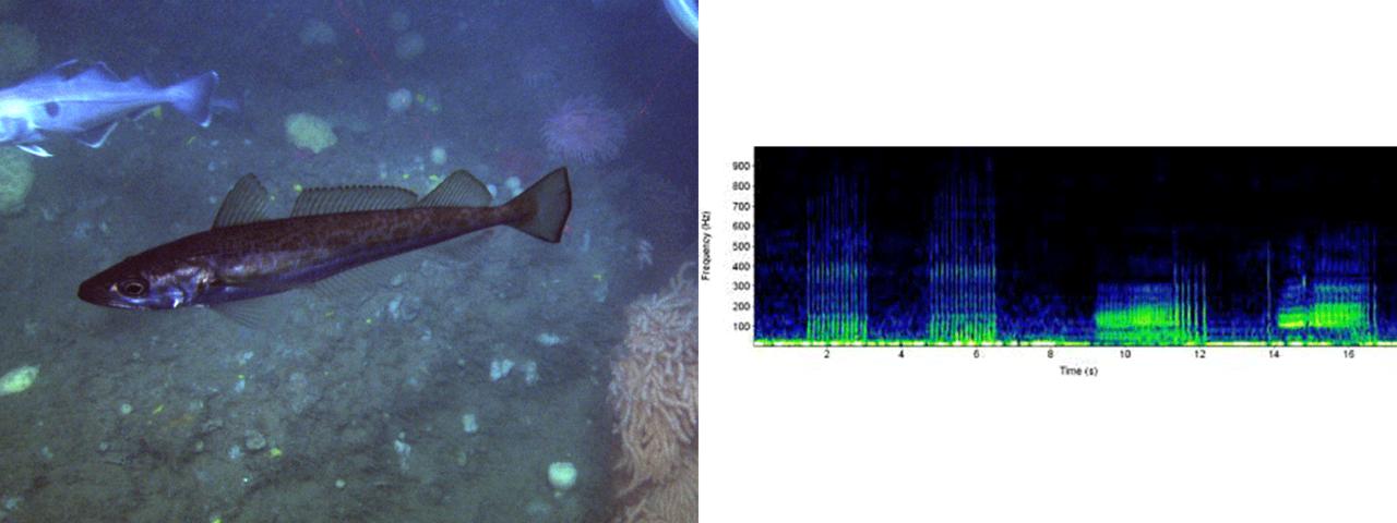 haddock photo and sound chart