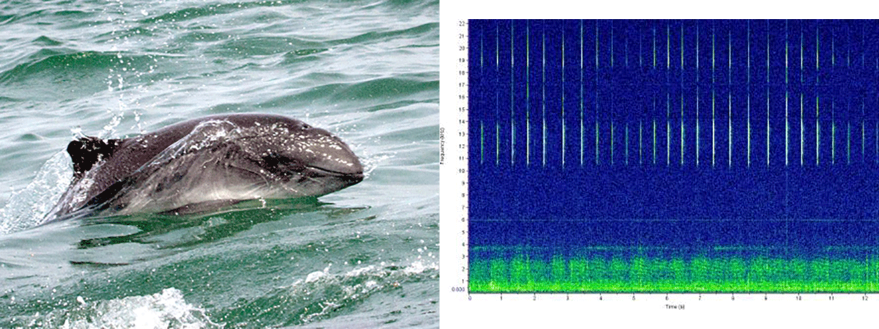 harbor porpoise photo and sound chart
