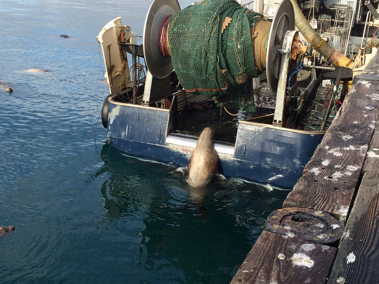 Steller sea lion tries to get onto the stern of a trawler. Photo credit: Noah Meisenheimer