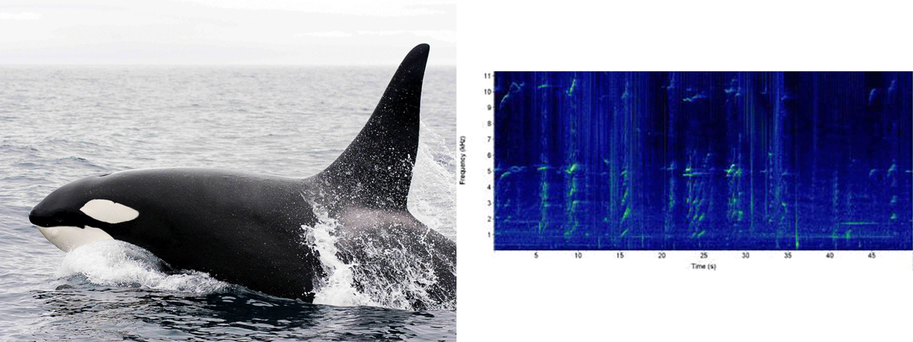 killer whale photo and sound chart