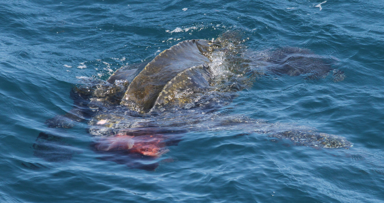 leatherback turtle in the ocean preying on jellyfish