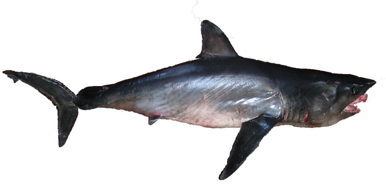 Longfin mako shark viewed from the side with its upper jaw protruding from its open mouth