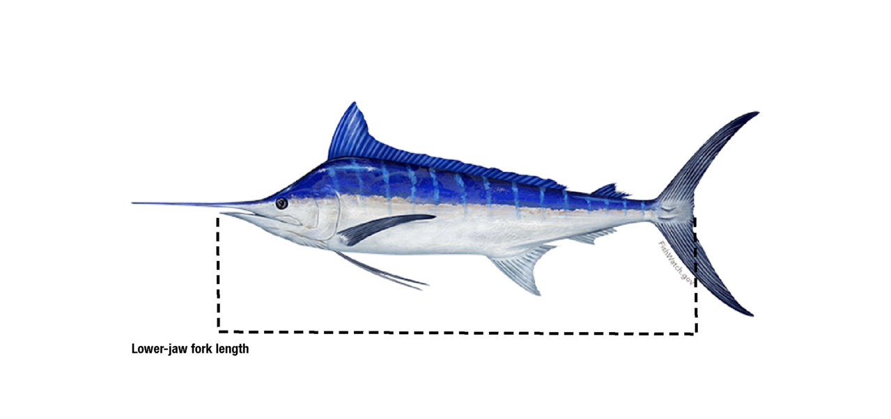 Lower-jaw fork length_billfish.png