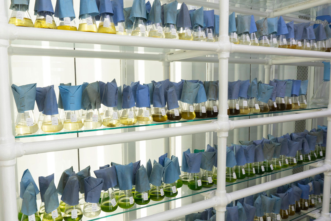 Rack of beakers with blue filters for microalgal culture.