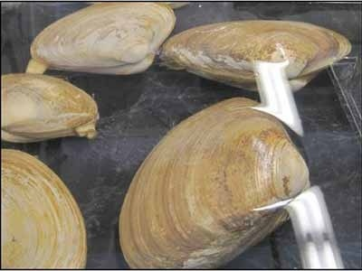 Clams on tray
