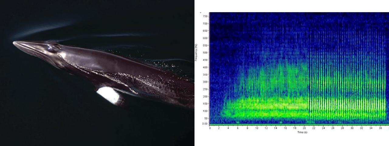 minke whale photo and sound chart