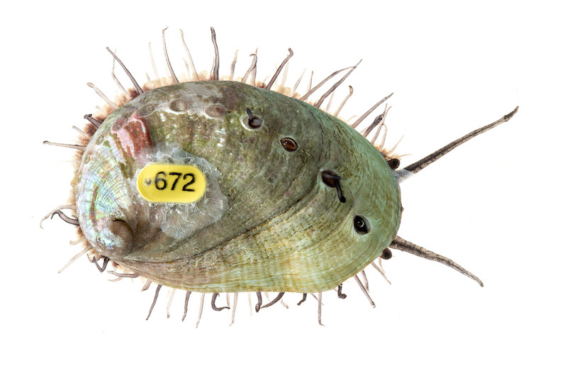 Image of an abalone with a yellow tag labeled 672.