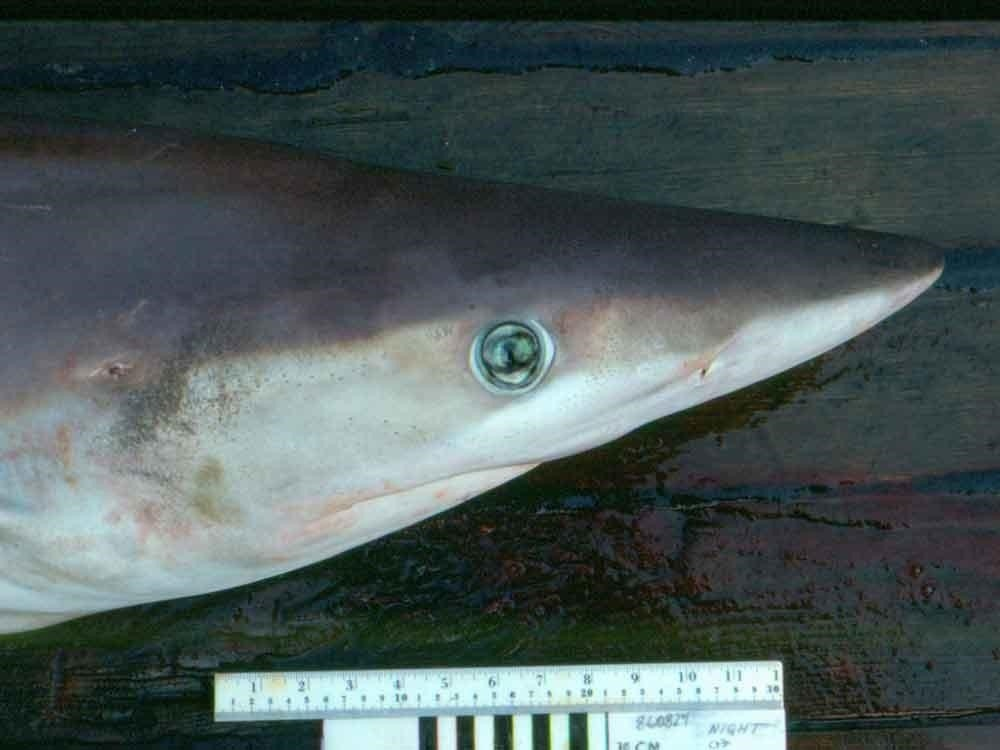 Night shark head region viewed from the side showing its green eye and long pointed snout.