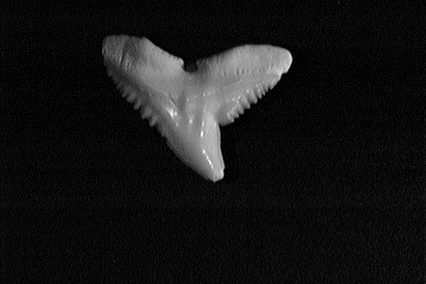Single night shark tooth showing broad base with coarse serrations tapering to a smooth oblique triangular shape with a notch on the outer margin.