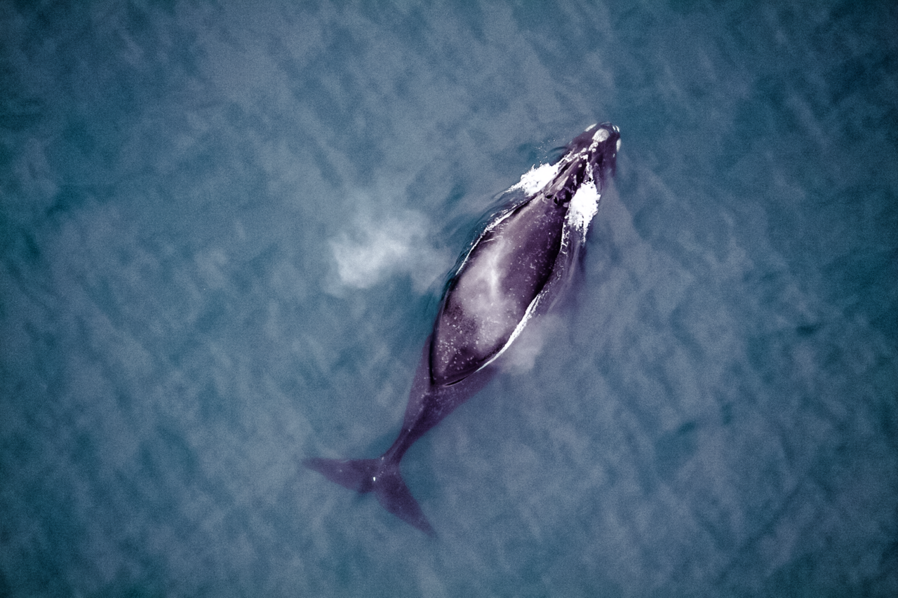 North Pacific right whale.