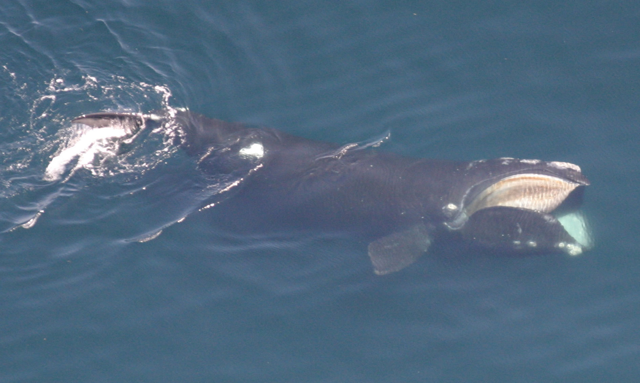 north_atlantic_right_whale_peter_duley__noaa.jpg