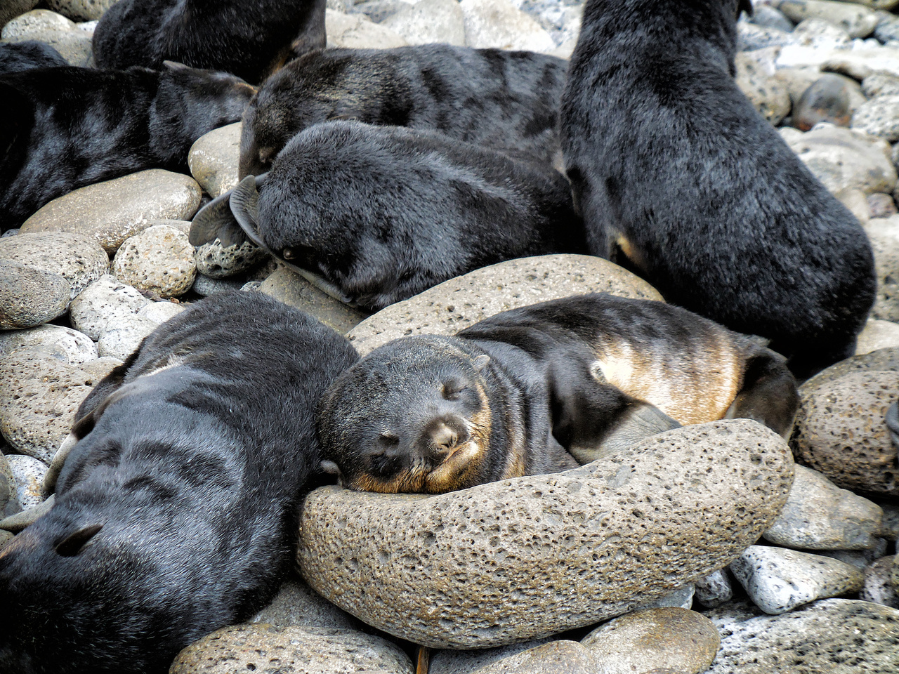 Northern_fur_seal3.JPG