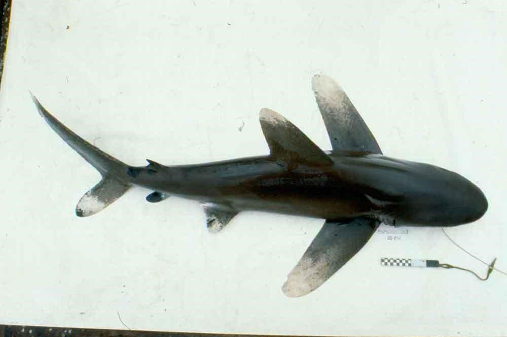 Oceanic whitetip shark viewed from above showing the white mottled color pattern on the tips of the pectoral, first dorsal, pelvic, and caudle fins.