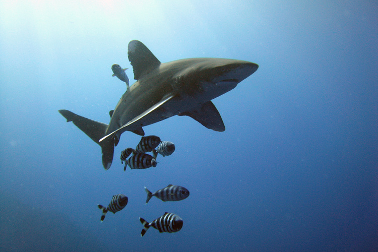 Oceanic whitetip shark swimming with fishes.