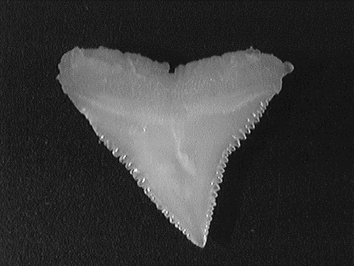 Single oceanic whitetip tooth showing serrated, broad triangular shape.