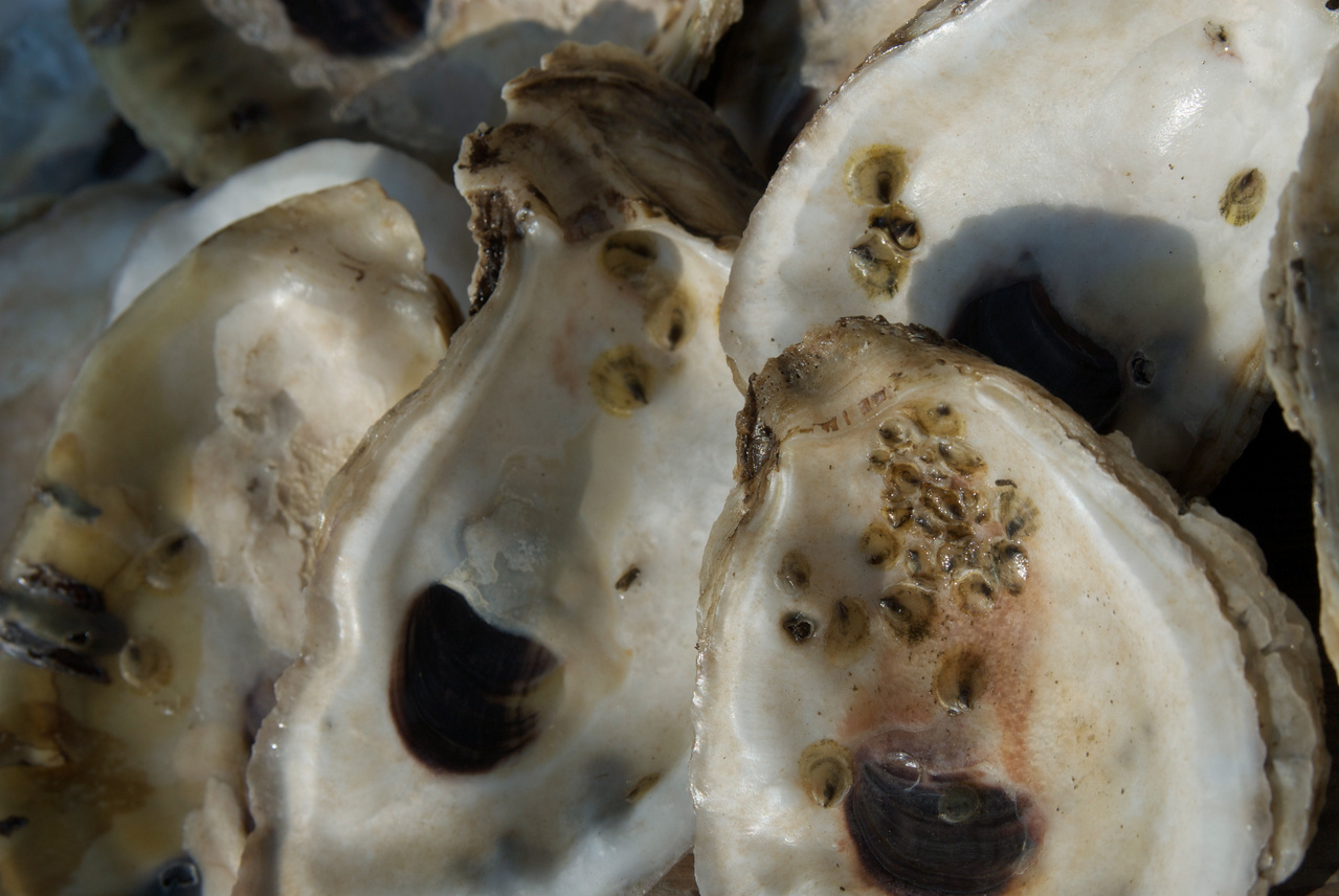 oyster_spat.jpg