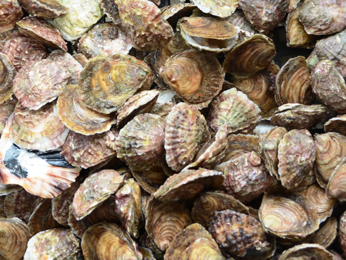 Close-up of pile of oysters.