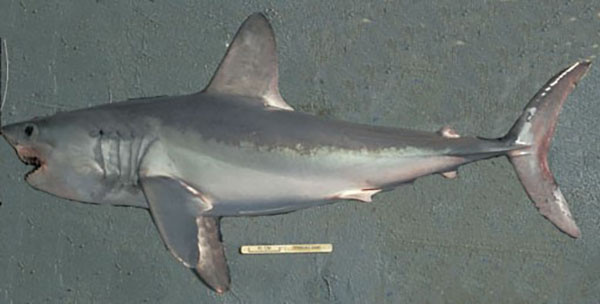 Porbeagle shark viewed from the side showing the large first dorsal fin and the crescent shaped tail with two keels