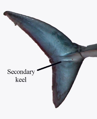 Tail region of the porbeagle shark showing the crescent shape and both the main and secondary keel.