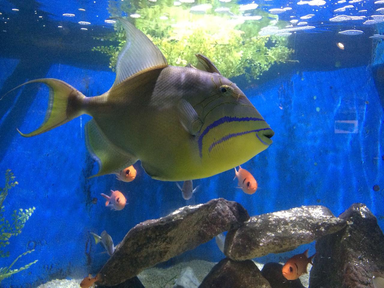 queen triggerfish in aquarium tank