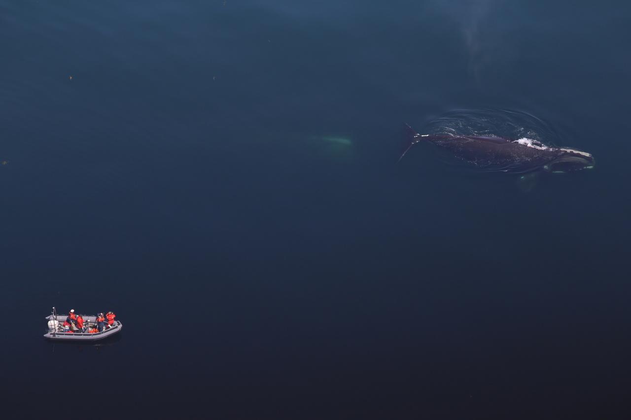 right-whale-id-NEFSC.jpg