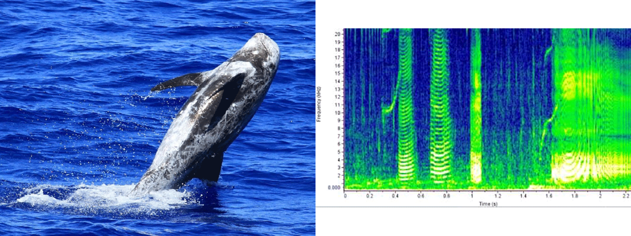 risso's dolphin photo and sound chart