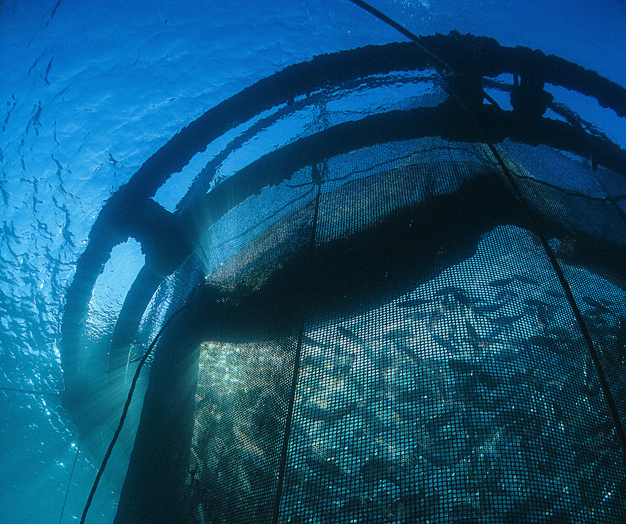 Photo taken by Gilles Lemarchand of royal bream raised in a floating net pen in France.