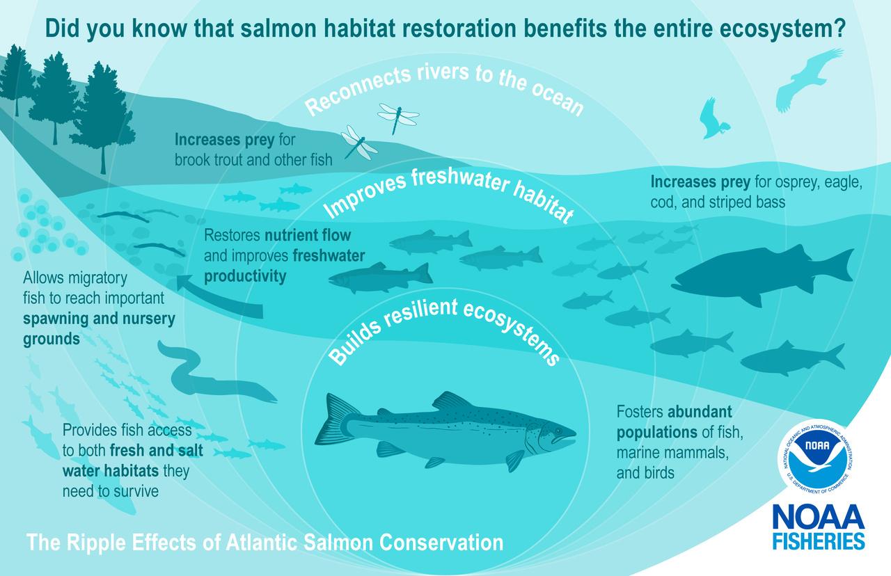 benefits of salmon restorration