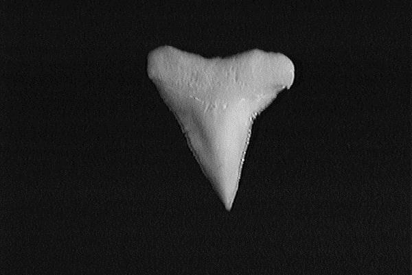 Single sandbar shark tooth showing the serrated, broad triangular shape