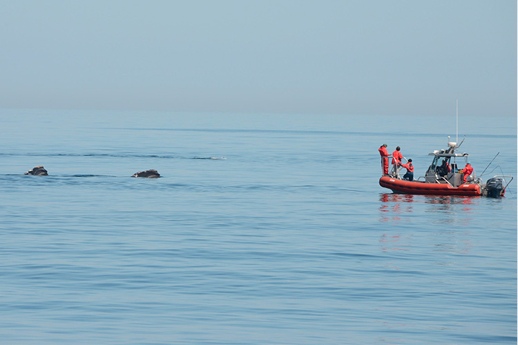 A small boat with whale scientists approaches a group of right whales.