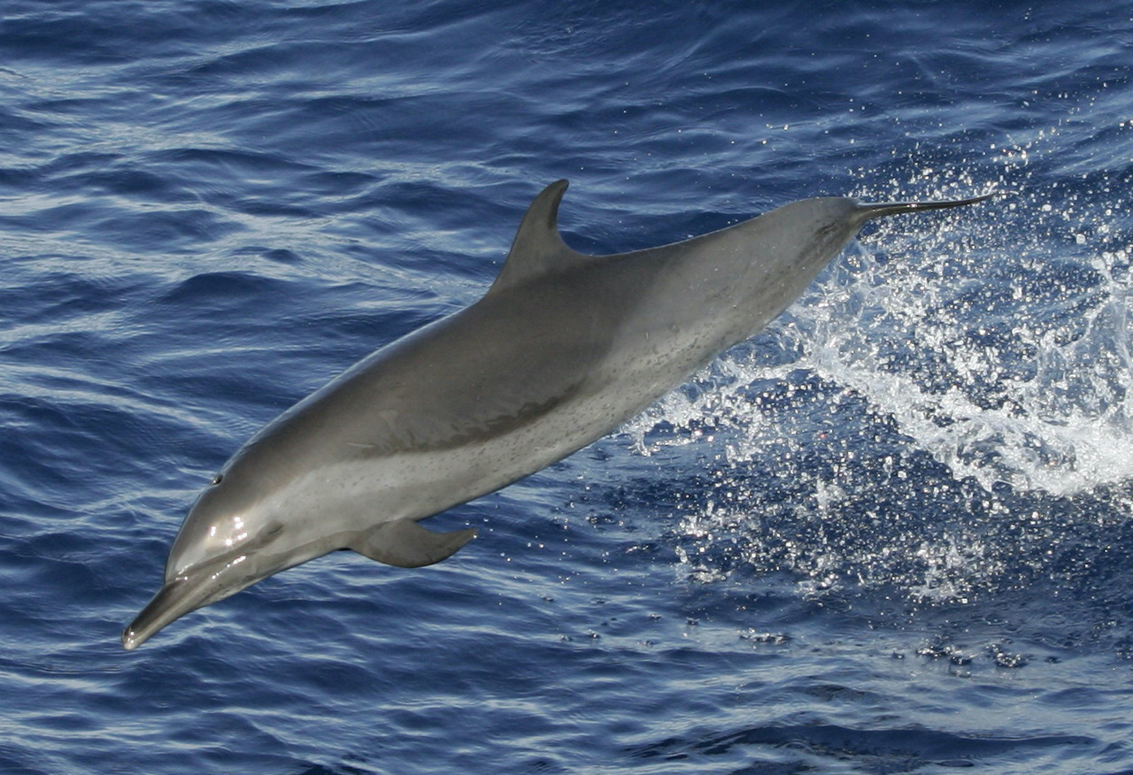 Spotted dolphin in the eastern tropical Pacific Ocean. Photo: NOAA Fisheries/Robert Pitman