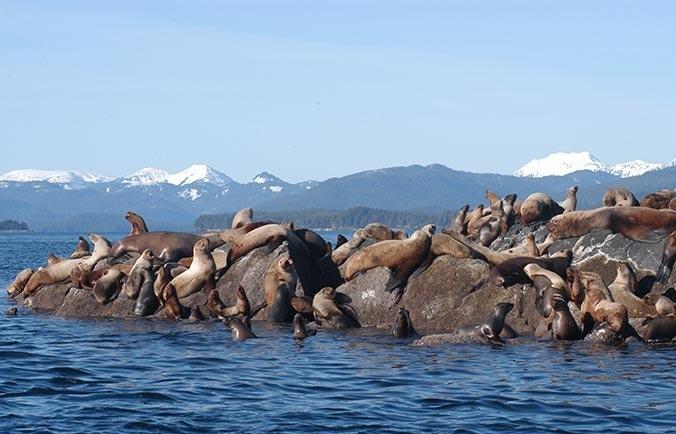 steller-sea-lions-photoADFG2.jpg