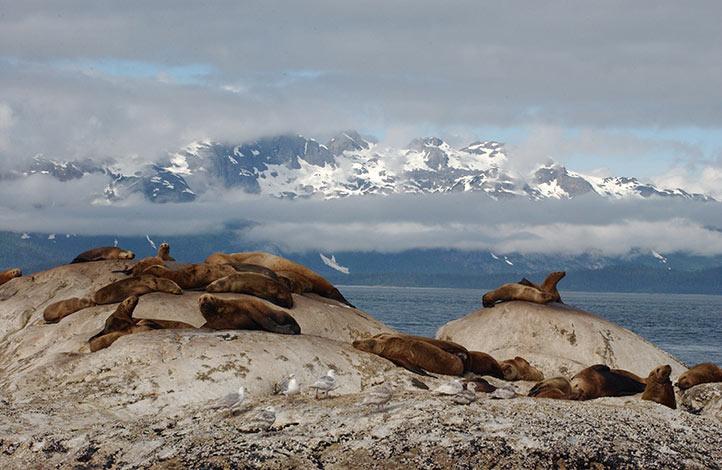 steller-sea-lions-photoADFG3.jpg