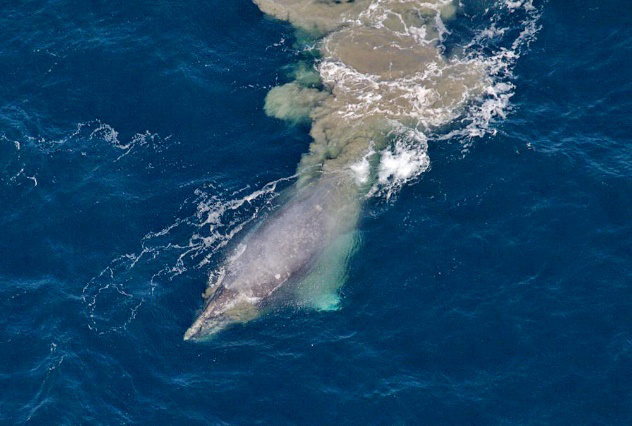 Aerial photo of gray whale with mud stream.